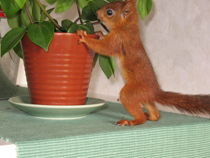 adopted-wild-red-squirrel-baby-arttu-finland-1