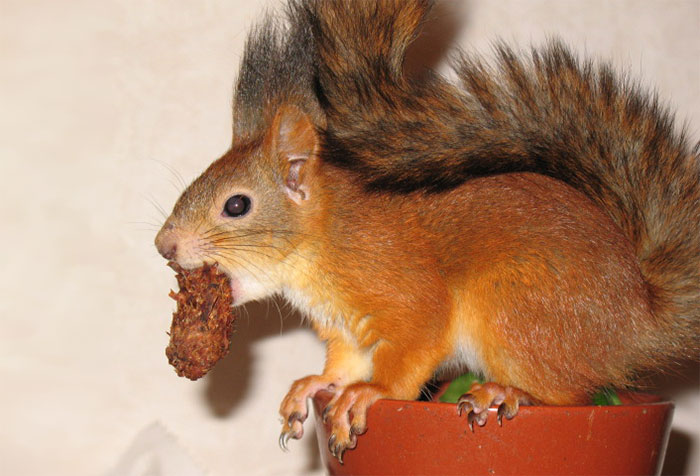 adopted-wild-red-squirrel-baby-arttu-finland-5