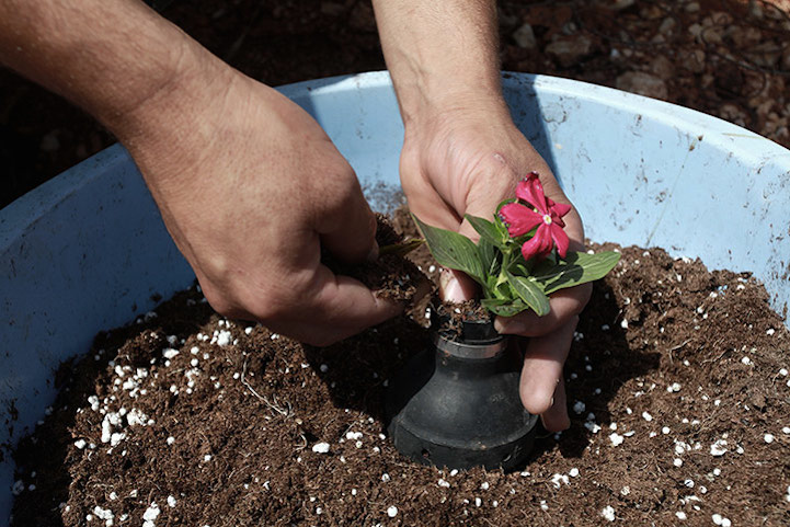 A Palestinian man plants a flower in a tear gas canister