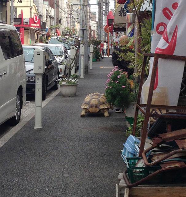 elderly-man-walking-pet-african-spurred-tortoise-sulcata_002