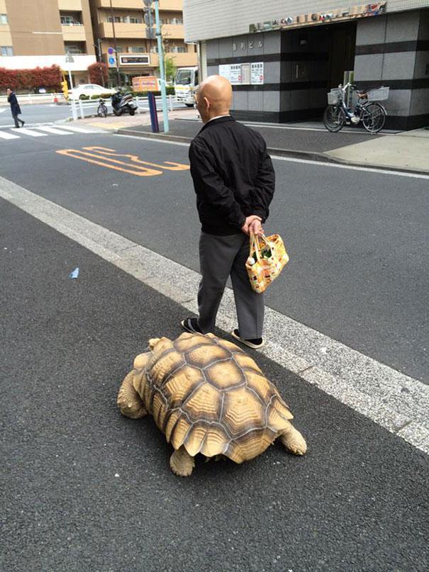 elderly-man-walking-pet-african-spurred-tortoise-sulcata_003
