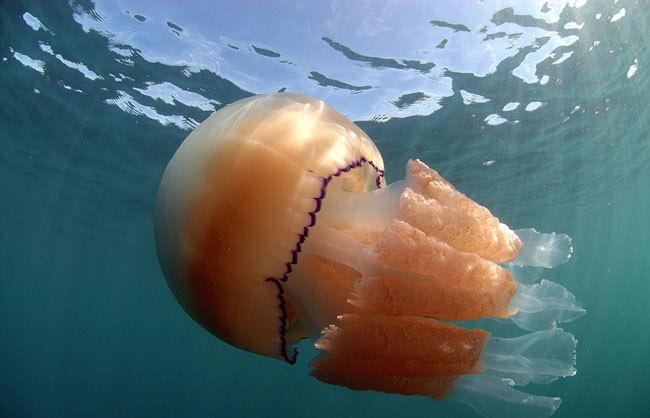 Jellyfish4