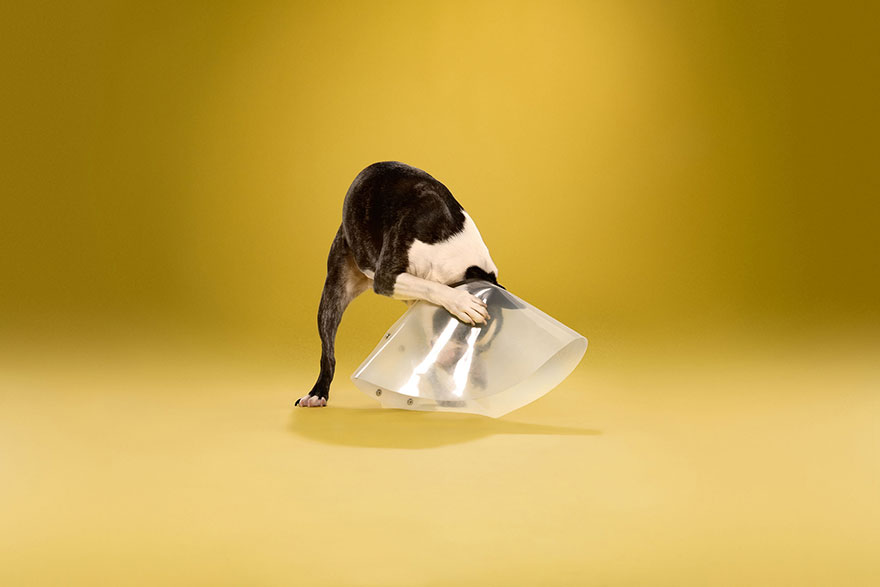 animal-portraits-pet-cone-timeout-ty-foster