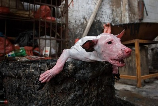 Thousands Of Cats And Dogs Slaughtered In Chinese Festival ... - photo#40