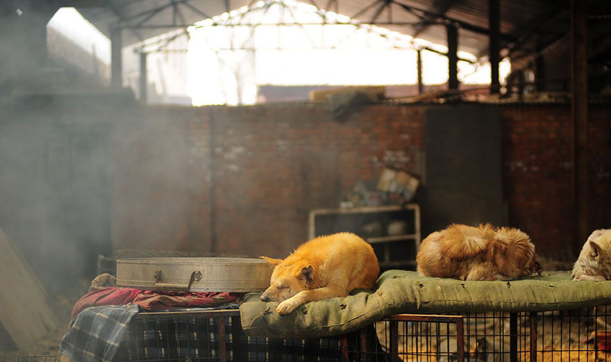 rescued-dogs-yulin-dog-meat-festival-china-18