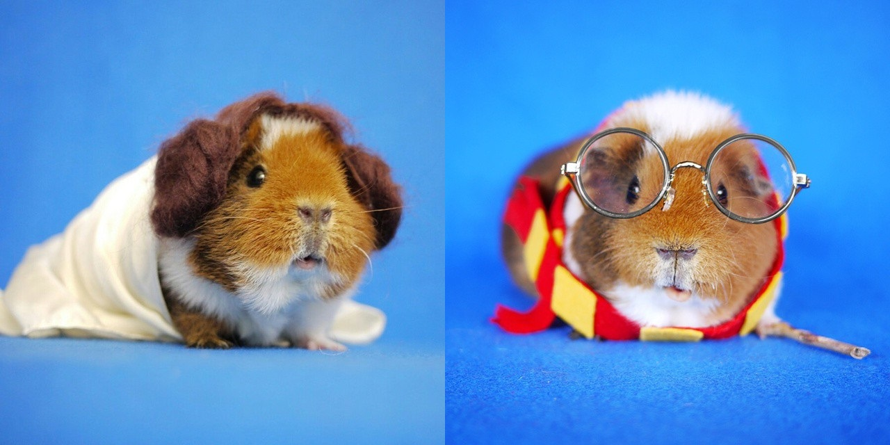 Indian hamster