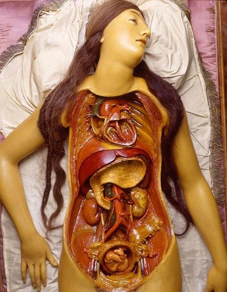 anatomicalvenus4ofnphsnfg