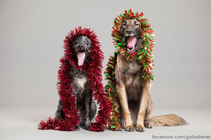 i-took-christmas-themed-dog-portraits-to-wish-you-happy-holidays-4__880