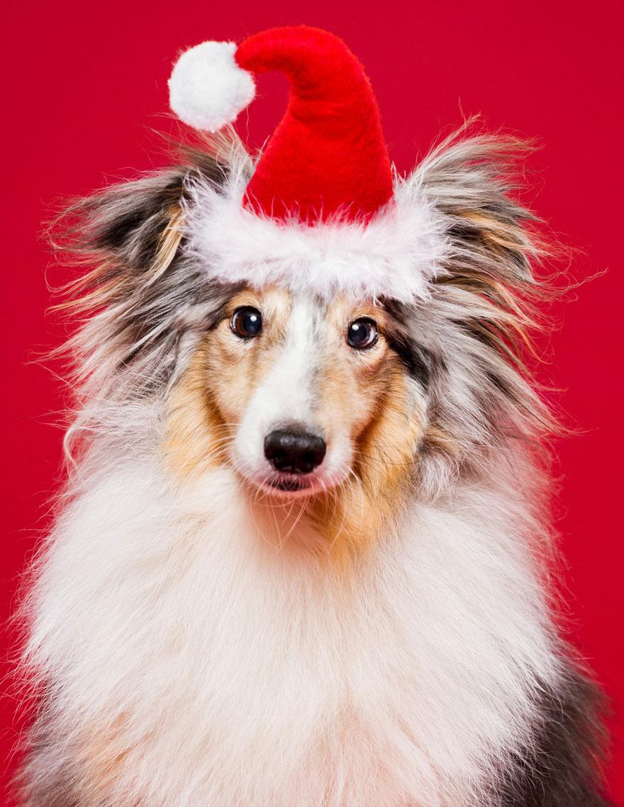 i-took-christmas-themed-dog-portraits-to-wish-you-happy-holidays-5__880