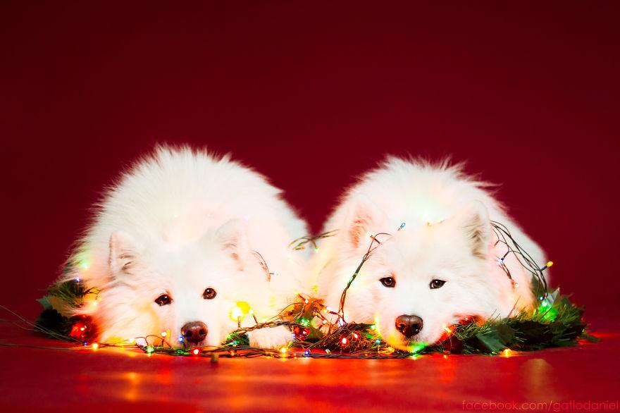 i-took-christmas-themed-dog-portraits-to-wish-you-happy-holidays-9__880