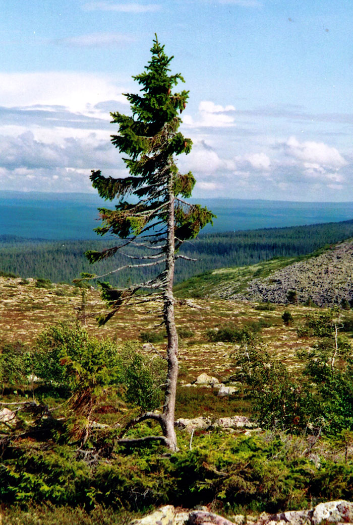oldest-tree-old-tjikko-sweden-18