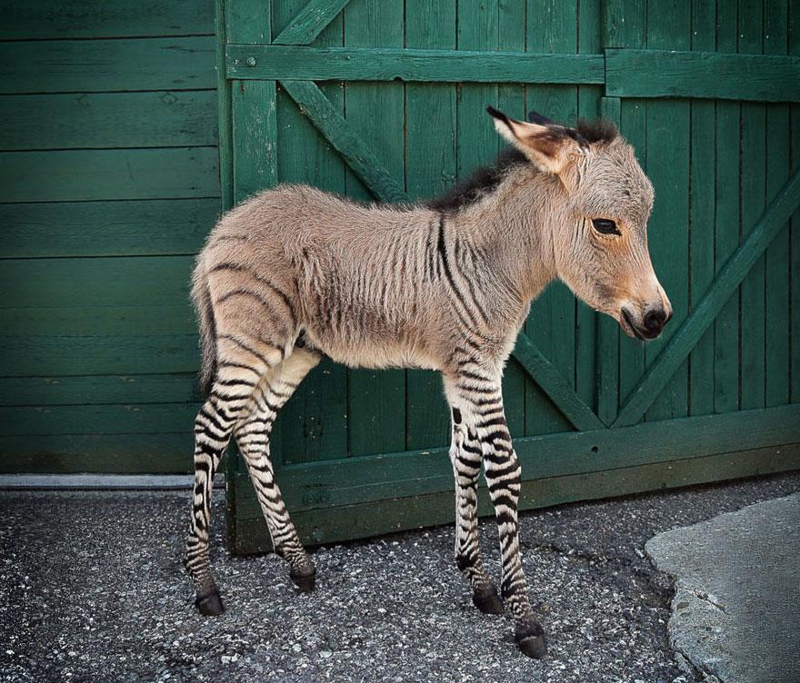 zonkey-half-zebra-half-donkey-8