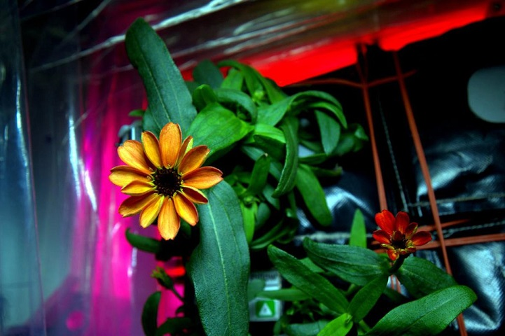 Zinnia flowers on the International Space Station seen on Jan. 16, 2016, are the first flowers grown in space part of the Veggie facility and experiment. (Scott Kelly/NASA/TNS)