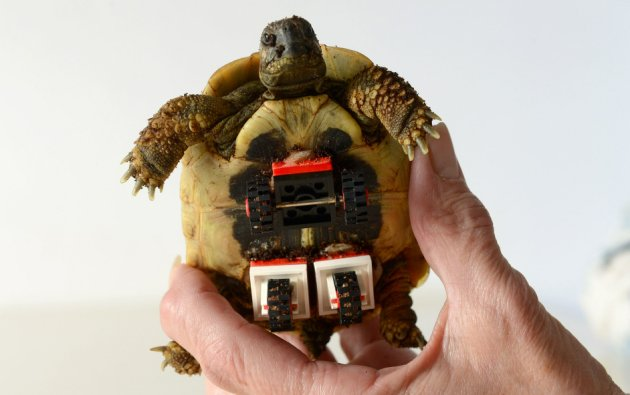 Lame tortoise fitted with Lego wheels, Bielefeld, Germany - 26 Nov 2014