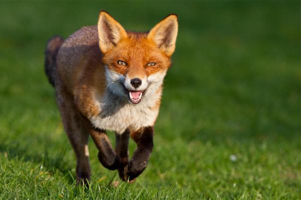 fox.jpg-pwrt2