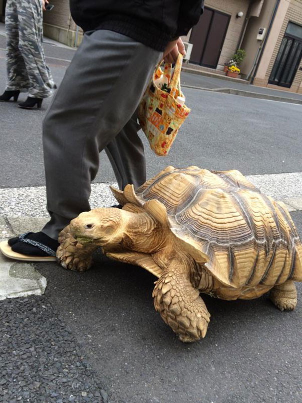 elderly-man-walking-pet-african-spurred-tortoise-sulcata_005