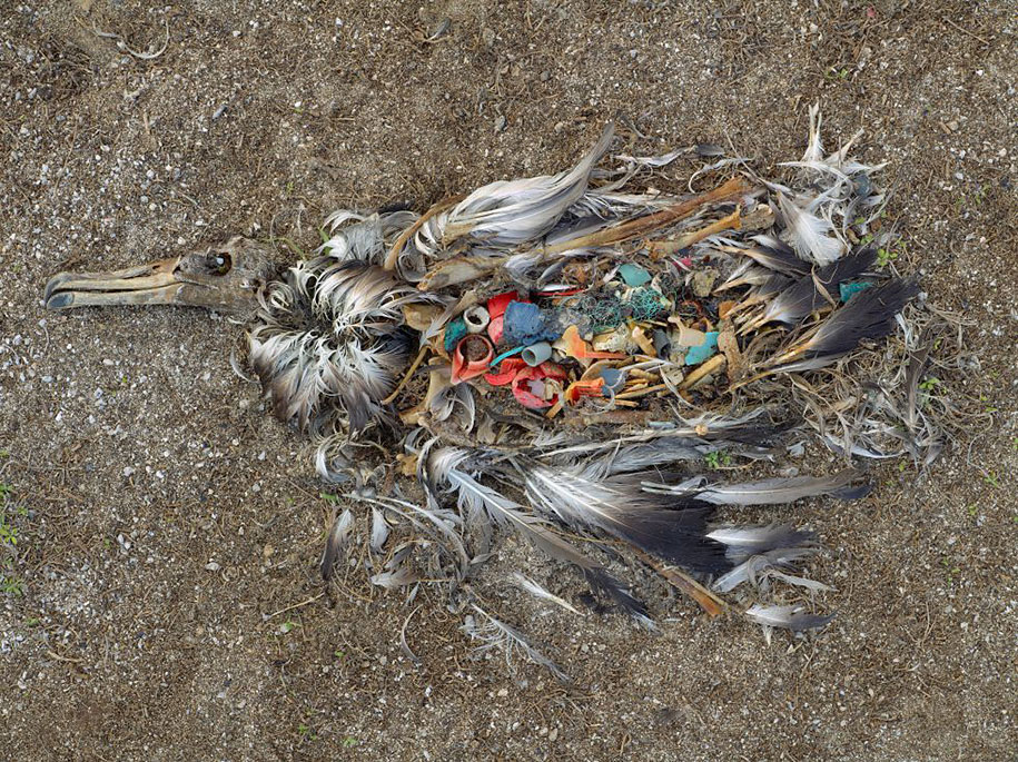An albatross that died from eating plastic rubbish. Midway Islands, N. Pacific.