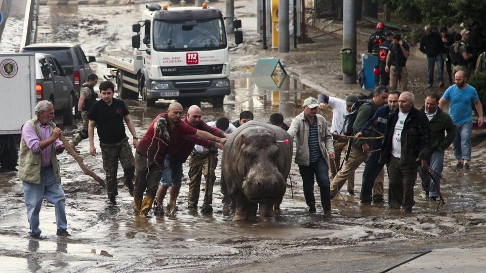 People help a hippopotamus escape from a flooded zoo in Tbilisi, Georgia, Sunday, June 14, 2015. Tigers, lions, a hippopotamus and other animals have escaped from the zoo in Georgia's capital after heavy flooding destroyed their enclosures, prompting authorities to warn residents in Tbilisi to say inside Sunday. At least eight people have been killed in the disaster, including three zoo workers, and 10 are missing.  (AP Photo/Tinatin Kiguradze)