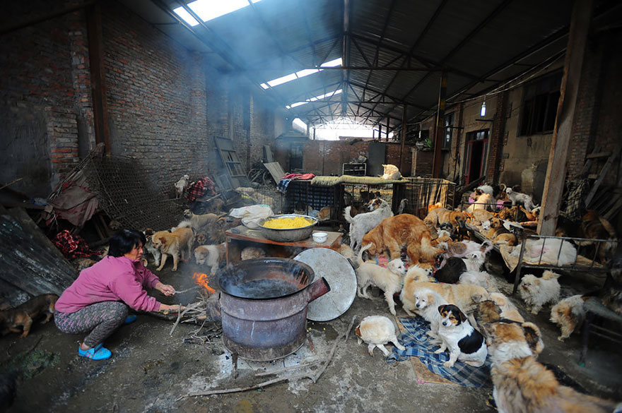 rescued-dogs-yulin-dog-meat-festival-china-11