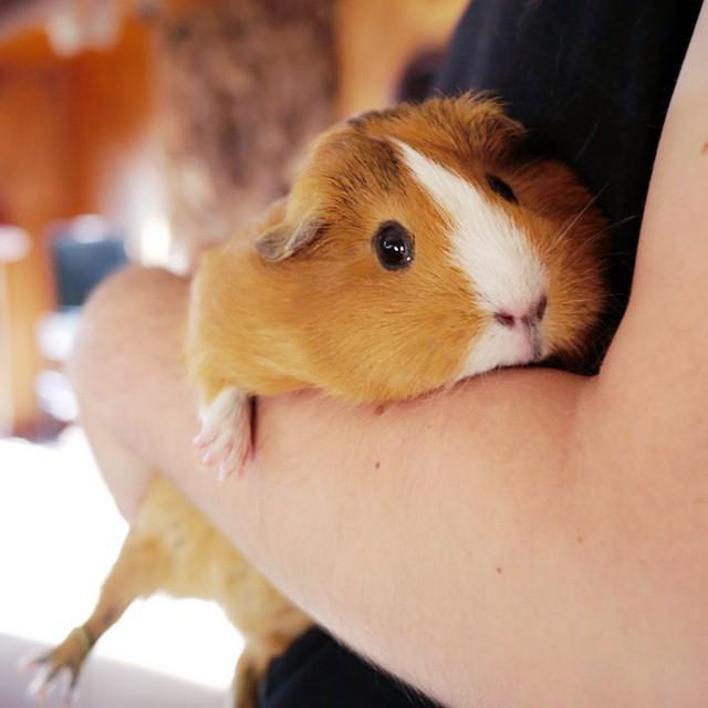 cute-hamster-costumes-fuzzberta-instagram-20