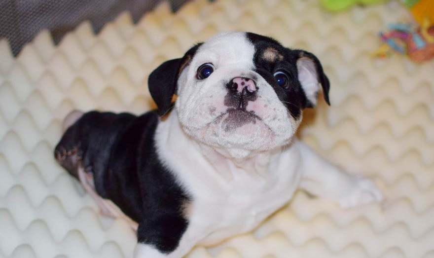 puppy-born-2-legs-half-bulldog-twice-heart-bonsai-15