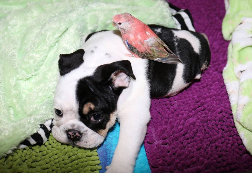 puppy-born-2-legs-half-bulldog-twice-heart-bonsai-7