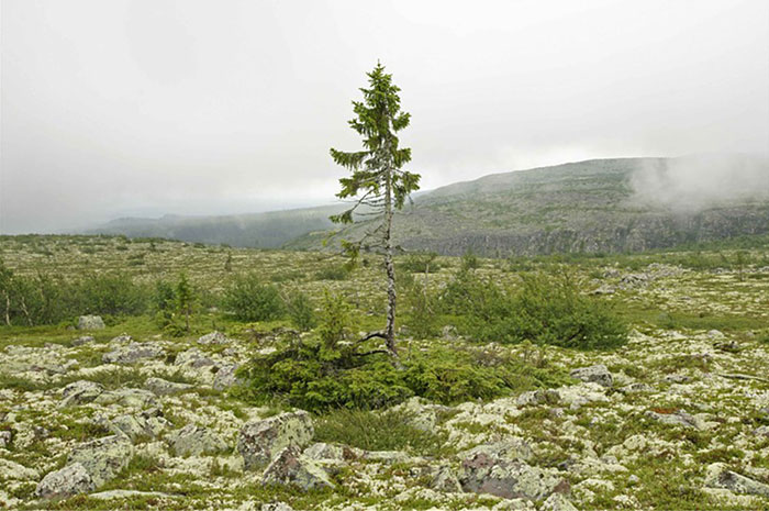 Billedresultat for worlds oldest tree dalarna