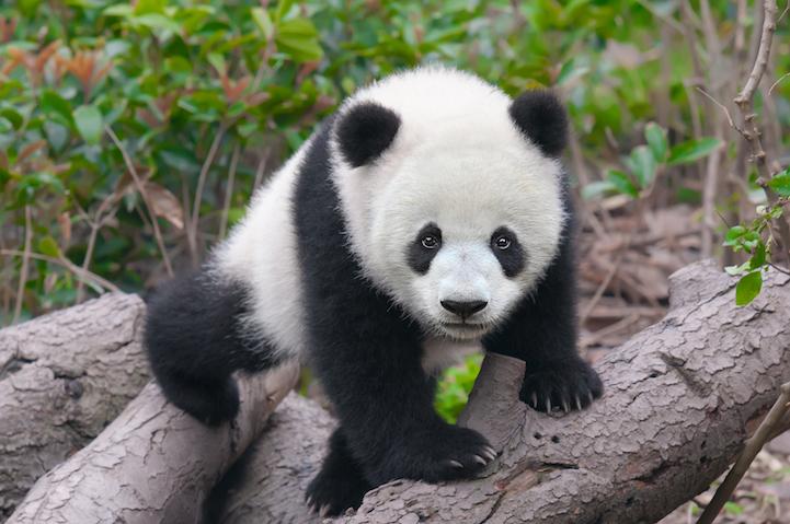 PandaCuddle2